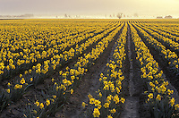 Rows of yellow daffodils in blossom at sunrise, Mount Vernon, Skagit Valley, Washington