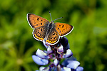 A Bronze Copper Butterfly on a Lupine plant in central Wisconsin. ..