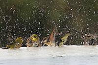 Multiple Hawaiian tropical birds take advantage of an opportunity for a good bath.