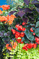 Annuals coleus Solenostemon, Begonia, Pelargonium annual geraniums, with Lysimachia nummularia Aurea planted together mixed