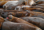 Southern Elephant Seals crowd together at their haul out on South Georgia Island