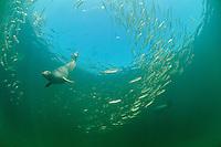 Common Seal, Phoca vitulina vitulina, hunting fish, herring, underwater, Rostock, Warnemuende, Germany, Baltic Sea