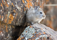 The most cooperative species in the Himalayas was the Royle's pika... which I had for all of two minutes.