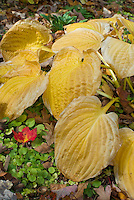 Hosta Christmas Tree in autumn fall foliage color, perennial plant nice in two seasons