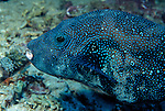Milne Bay, Papua New Guinea; Blue-spotted Puffer (Arothron caeruleopunctatus), solitary, seaward reef slopes in 5-35 meters, found in Maldives to Papua New Guinea, Palau and Marshall Island in Micronesia , Copyright © Matthew Meier, matthewmeierphoto.com All Rights Reserved
