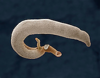 The Fluke (Schistosoma mansoni), Class Trematoda, Phylum Platyhelminthes, is a major parasitic pathogen that causes schistosomiasis. SEM X104.  **On Page Credit Required**