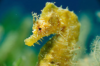 Short-snouted seahorse (Hippocampus hippocampus). Mission: Blue Fin Tuna and Malta underwater, Gozo, Maltese Islands