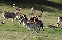2012_10_17_STAG_AFTER_THE_RUT_CHATSWORTH