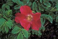 Rosa rugosa Robusta