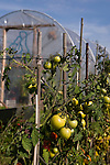 Tomatoes ripening in the sun near a polly tunnel