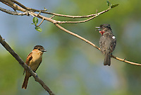 507100063 a wild mated pair of rose-throated becards pachyramphus algaiae perch on tree branches on a private ranch in tamaulipas state mexico
