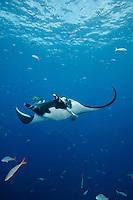 QT2336-D. Manta Ray (Manta birostris). Baja, Mexico, Pacific Ocean.<br /> Photo Copyright &copy; Brandon Cole. All rights reserved worldwide.  www.brandoncole.com
