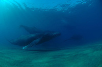 Whales underwater around the coast of Maui Hawaii,this photos where taken by Benja Iglesis,photographer based in Maui Hawaii,who had shot photos around the world for the past 24 years.