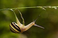 White-lipped snail (Cepaea hortensis)<br /> Triglav National Park, Slovenia<br /> June 2009