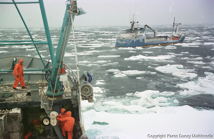 """Crewmen Larry Murphy (left) and Steve McElroy prepare a crab pot to be dropped overboard onboard the fishing vessel """"Kiska Sea"""" during the opilio crab fishing season in the Bering Sea in January and February of 1995.  The Bering Sea is known for having the worst storms in the world.  The boat is covered with ice caused by """"freezing spray"""" a phenomena whereby sea spray freezes on impact of hitting something. Crab fishing in the Bering Sea is considered to be one of the most dangerous jobs in the world.  This fishery is managed by the Alaska Department of Fish and Game and is a sustainable fishery.  The Discovery Channel produced a TV series called """"The Deadliest Catch"""" which popularized this fishery."""
