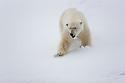 Norway, Svalbard, male polar bear walking in snow