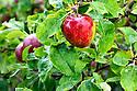 WA09771-00...WASHINGTON - Liberty apple.