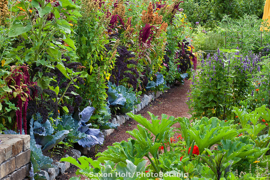 Intensive organic mixed herb and vegetable garden interplanted with cabbage,  kale, quinoa, amaranth, squash and flowers