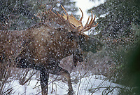 Bull moose in winter snowstorm. Denali National Park, Alaska.
