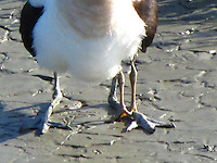 A cropped, close-up of the extra legs giving evidence of the chick tucked under the adult Avocet's wing. <br /> <br /> Image Buyers: Please note that this cropped image will lack detail necessary for certain uses.