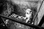 Puppy Farming Wales 1989. A Old English Sheepdog, who puppies have been taken away.<br /> <br /> The Davies family run farm at Llwch-yr-hal near Newcastle Emlyn. Many of their dogs in shocking conditions, with out water, and heat in cold, damp and dark breeding pens.