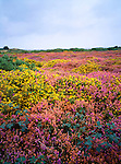 Suffolk Coastal Heath; Heather and gorse in bloom, Minsmere, Suffolk
