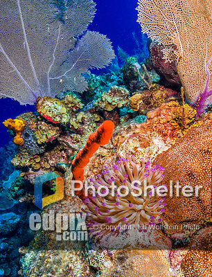 23 July 2015: A Pinktipped Anemone (Condylactis gigantea) is seen on the reef at Eagle Ray Pass, on the North Shore of Grand Cayman Island. Located in the British West Indies in the Caribbean, the Cayman Islands are renowned for excellent scuba diving, snorkeling, beaches and banking.  Mandatory Credit: Ed Wolfstein Photo *** RAW (NEF) Image File Available ***