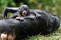 Bonobo female baby aged 3 months playing with her mother (Pan paniscus), Lola Ya Bonobo Sanctuary, Democratic Republic of Congo.