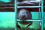 Manatee & Ladder