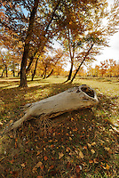 Nature and outdoor photography of Xinjiang countryside surrounded by massive autumn coloured trees. These trees grow everywhere creating a breathtaking atmosphere for great outdoor activities such as picnic, camping and hiking all year round.
