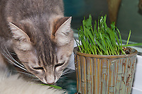 Lucca sniffs a blade of grass on a sheepskin rug next to a pot filled with newly germinated (and nibbled on) oat grass (tack oats; Avena sativa).