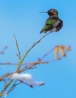 Gift card photo (set of 4) of Anna's Hummingbird is looking over shoulder sitting on end of snow covered tree branch in Winter with sun shining and blue sky all around