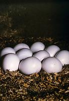 Wendehals, Ei, Eier, Gelege im Nest, Jynx torquilla, wryneck