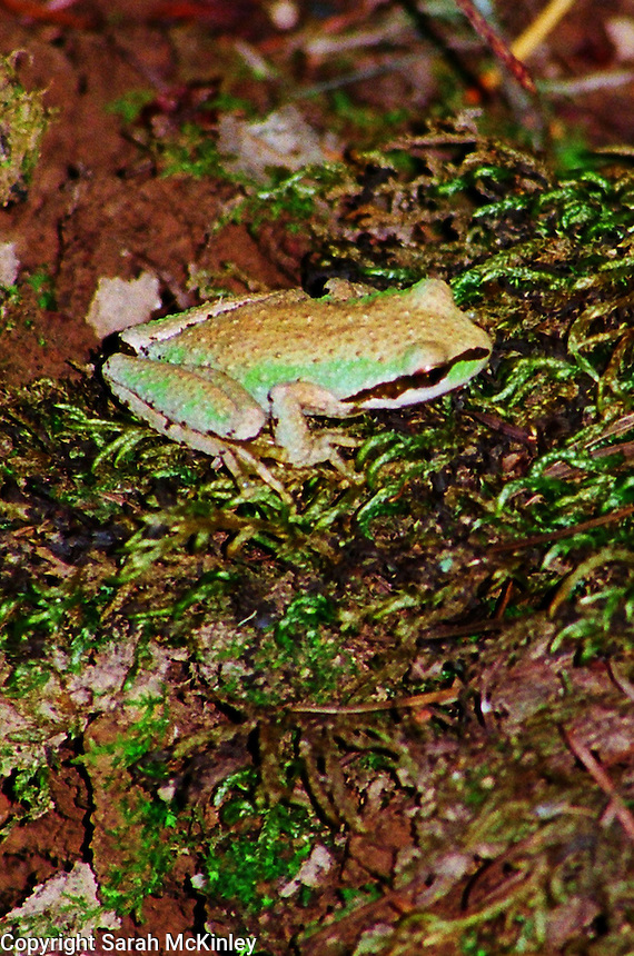 A tree frog rests on moss in the forest of Little Darby outside Willits in Mendocino County in Northern California.