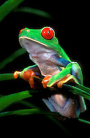 481634015 a captive red-eyed tree frog agalychnis calladryas sits on the leaves of a tropical plant you can see how this frog gets its name