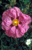 Pink and red and yellow flower of shrub Cistus purpureus