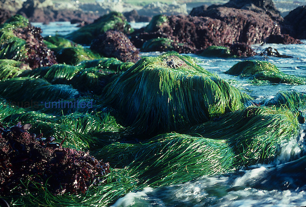 Surf Grass ,Phyllospadix,, a marine flowering plant, growing in the intertidal zone, California, USA.