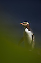 Yellow-eyed Penguin (Megadyptes antipodes), endangered specie, Auckland Island, New Zealand