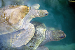 Green Turtles, Cayman Turtle Farm