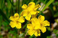 Alpine Saint Johns Wort (Hypericum)