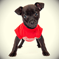 Black chihuahua puppy photo.