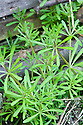 Cleavers or goose grass (Galium aparine), mid April.