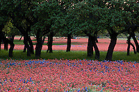 Meadow of Paintbrush and Bluebonnets grow among Texas Live Oak Trees in the Hill Country