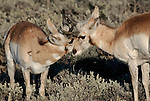 Two pronghorn antelope bucks (Antilocapra americana), spar in the evening sun in the Lamar Valley of Yellowstone National Park, Wyoming.