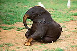 African elephant calf, Amboseli National Park, Kenya