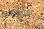 Guineafowl