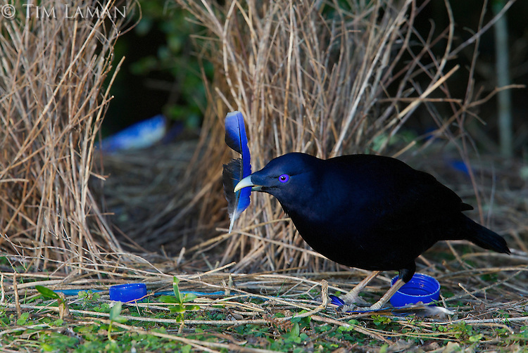 Satin Bowerbird (Ptilonorhynchus violaceus) male at  his bower, which is decorated with many blue plastic items, and a blue feather of a Crimson Rosella parrot which the bowerbird is holding..Lamington National Park, Queensland, Australia.