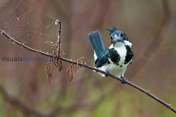 Amazon Kingfisher (Chloroceryle amazona), Costa Rica.