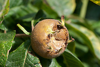 Medlar fruit closeup of Mespilus germanica 'Nottingham'