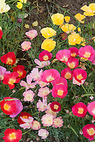 Eschscholzia Fruit Crush mixture, California poppies variety of colors